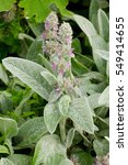 Stachys Byzantina Blooming In...