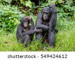 bonobos in natural habitat on...   Shutterstock . vector #549424612
