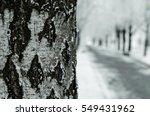 Walk In The Park Birch Winter ...