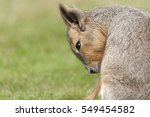 Mara Are A Large Relative Of...