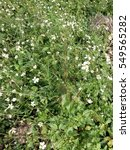 white flower in flower field   Shutterstock . vector #549565282