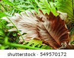 Small photo of Polypodiaceae Aglaomorpha coronans, Tropical ferns plant.