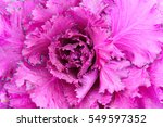 Purple Ornamental Cabbage...