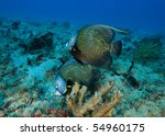 Two French Angel Fish On Coral...