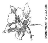 wild columbine aquilegia... | Shutterstock . vector #549666688