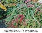 background texture of shrubbery ... | Shutterstock . vector #549680536