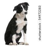 Border Collie Puppy  4 Months...