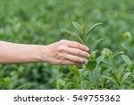 women hand finger picking tea... | Shutterstock . vector #549755362