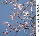 Small photo of almond tree spring blossom