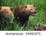 Bush Dog   Speothos Venaticus...