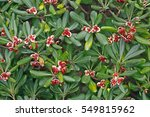 This Is Pittosporum Tobira ...