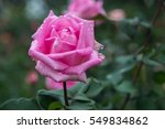 pink rose flower and green... | Shutterstock . vector #549834862