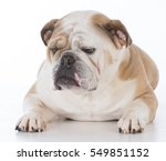 Stock photo bulldog laying down with silly expression 549851152