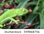 Small photo of Side view of a Green South African Chameleon blending in with its natural habitat.