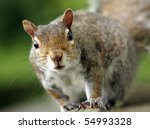 Eastern Grey Squirrel On The...