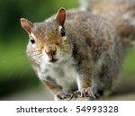 Eastern Grey Squirrel On The...