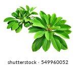 green fresh leaf isolated white ...   Shutterstock . vector #549960052