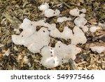 Slime Mold Dog Vomit  Fuligo...