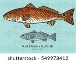 Red Drum  Redfish. Vector...