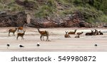 group of red deer at the beach... | Shutterstock . vector #549980872
