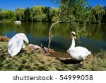 white swans in front of lake | Shutterstock . vector #54999058