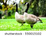 Gooses On Green Meadow