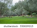 Olive Trees And Lawn In An...