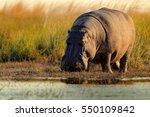 african hippopotamus ... | Shutterstock . vector #550109842