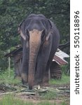 Small photo of Indian elephant