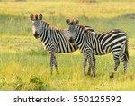 common zebra  equus quagga   ... | Shutterstock . vector #550125592