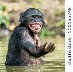 Stock photo smiling bonobo in the water bonobo in the water with pleasure and smiles bonobo standing in pond 550155748