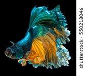 betta fish  siamese fighting... | Shutterstock . vector #550218046