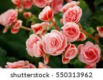 numerous bright flowers of... | Shutterstock . vector #550313962
