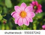 Dahlia Pink Flowers In Garden...