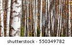 birch forest landscape... | Shutterstock . vector #550349782