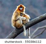golden snub nosed monkey | Shutterstock . vector #550386112