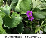 Purple Flower Of Strawberry.