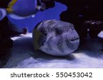Portrait Of A Puffer Fish On...