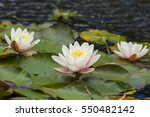 Three Lotus Or Water Lily...