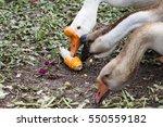 Goose Eating Natural Corn