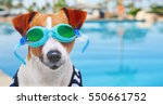 Stock photo jack russell terrier wearing goggles dog jack russell terrier dressed in sailor s vest on the 550661752