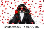 Stock photo jack russell dog for valentines day in love with rose in hair and mouth with black long curly 550709182