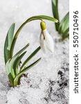 Gentle Snowdrop Flowering From...