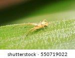 yellow long legs spider on... | Shutterstock . vector #550719022