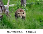 Female Grizzly in Meadow 2 - stock photo