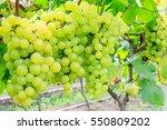 vineyard ripe white grapes in... | Shutterstock . vector #550809202
