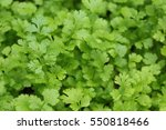 flat leaf parsley plant in... | Shutterstock . vector #550818466