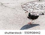 Pigeon Walking. Dove Walking...