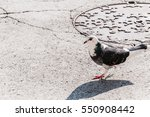Pigeon. Pigeon Walking.