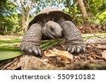 Stock photo giant aldabra tortoise aldabrachelys gigantea on curiouse island in seychelles 550910182